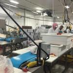 Dynaclean clean conveyor moving fresh fish.